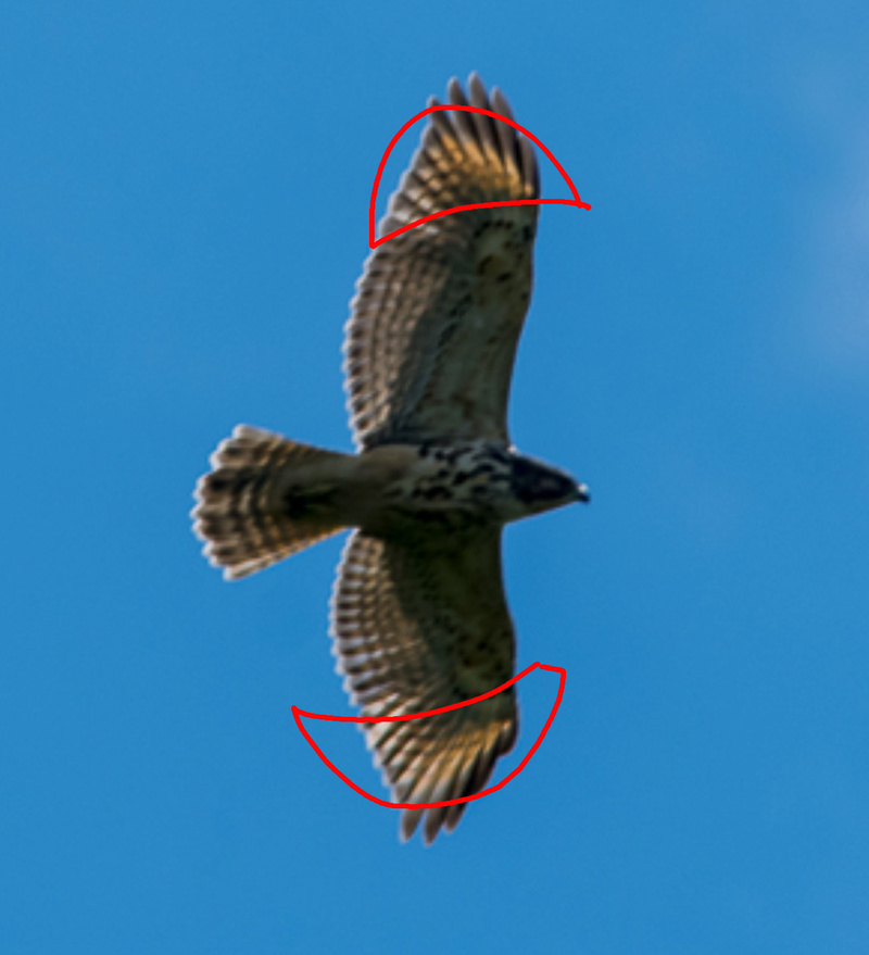 rapace incertain Image11