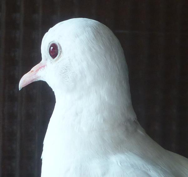"""Blanc yeux """"rubis"""" ? Blcyxr10"""