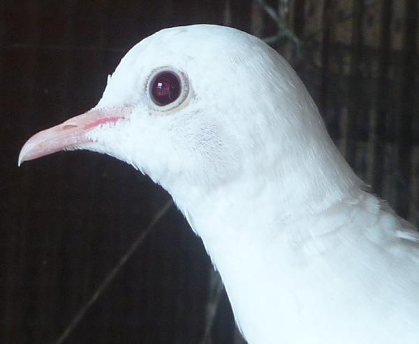"""Blanc yeux """"rubis"""" ? Blcyxr11"""