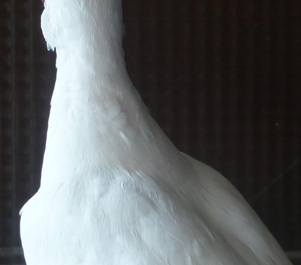 """Blanc yeux """"rubis"""" ? Blcyxr12"""