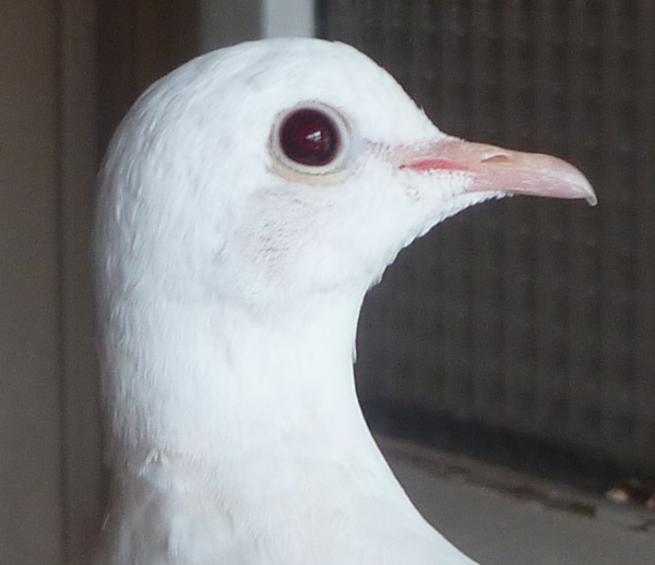 """Blanc yeux """"rubis"""" ? Blcyxr14"""