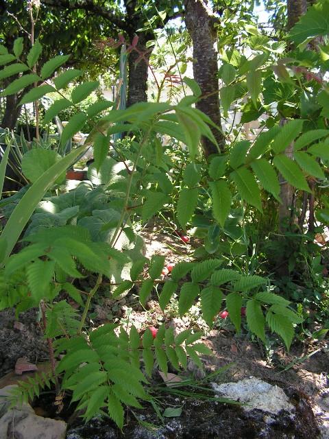 Sorbaria sorbifolia 16070911