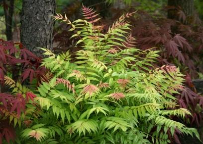 Sorbaria sorbifolia 34218810