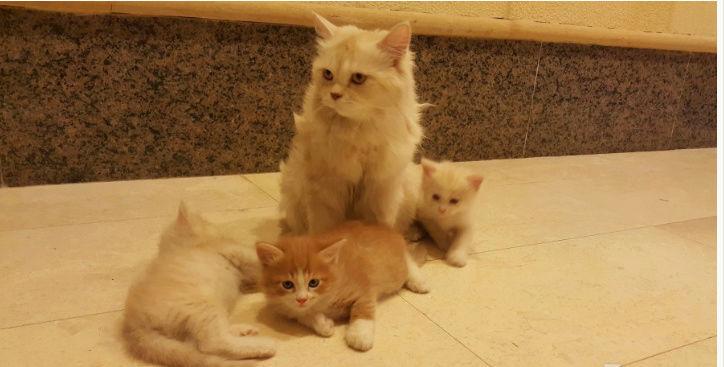 قطط شيرازيه و امهم في غاية الجمال  109