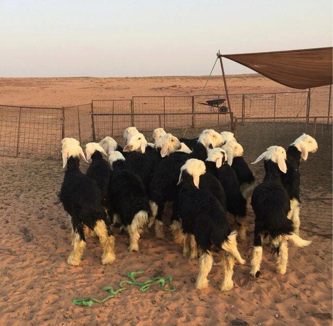 خرفان نجدي مقفلة شحم ولحم  115