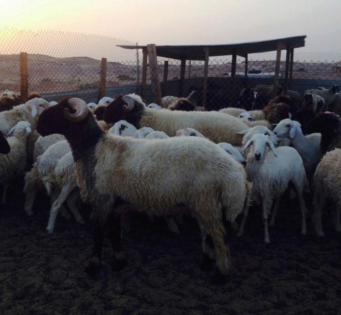 للبيع فحل نعيمي جذع في الرياض 128