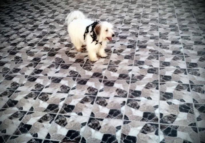 كلب فرنسي ابيض اللون  134