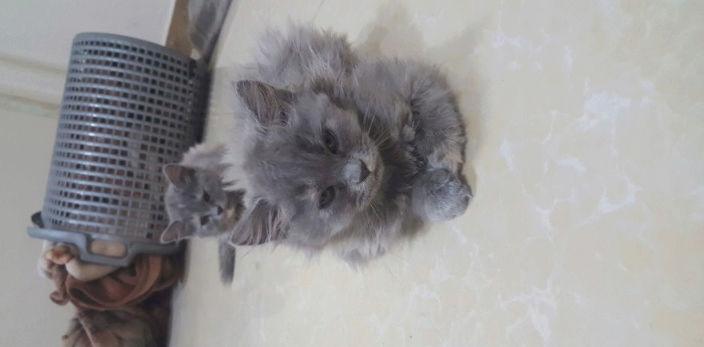 قطط صغيرة للبيع بسعر مناسب  14