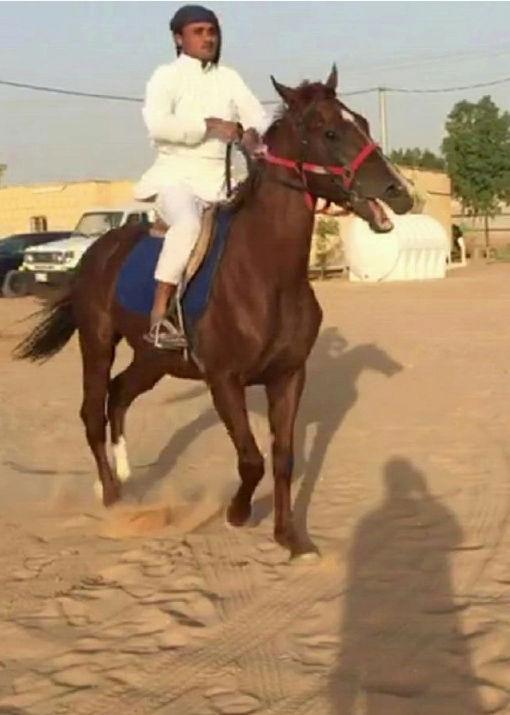 حصان انتاج شعبي عمره 5 سنوات تقريبا 148