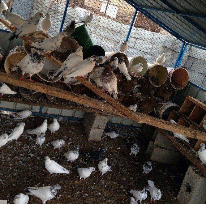 45 جوز حمام بكستاني للبيع  151