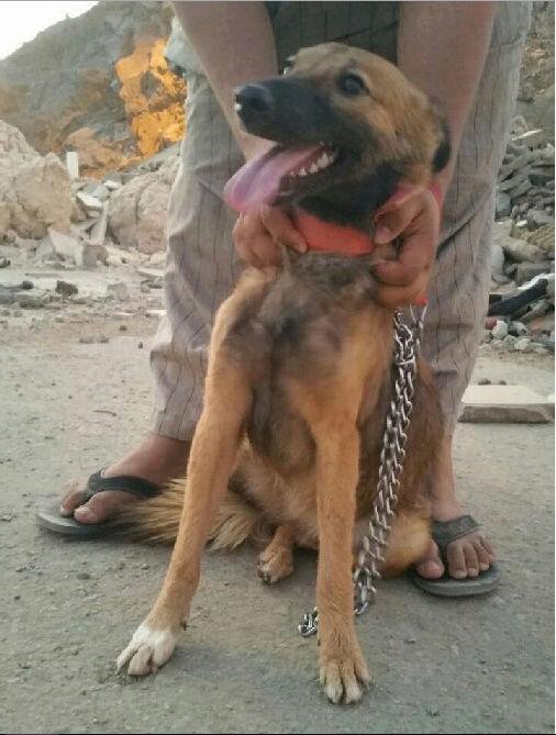 كلبه انثى مالينو عمرها 4شهور 179