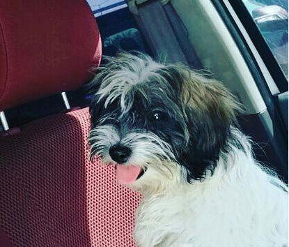 كلب شيتزو دلع بسعر 3000ريال 195