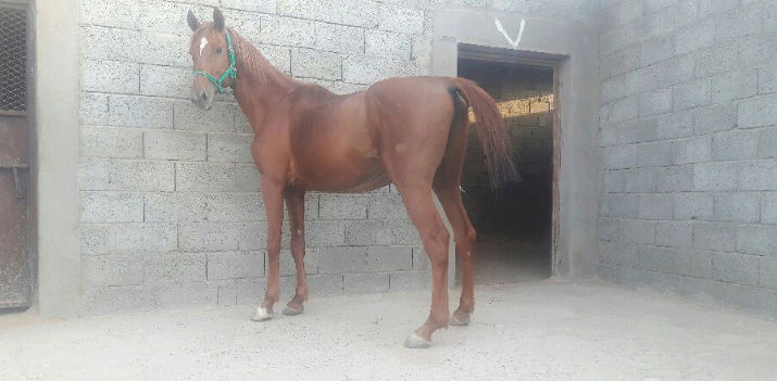 حصان شعبي عربي فاخر  206