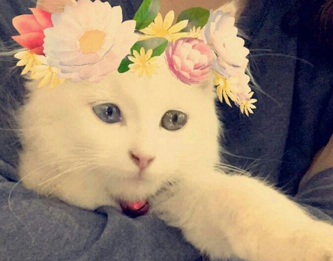 قطه شيرازيه في منتهى الجمال 207