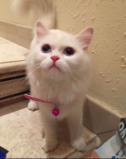 قطط شيرازية جميلة للبيع  218