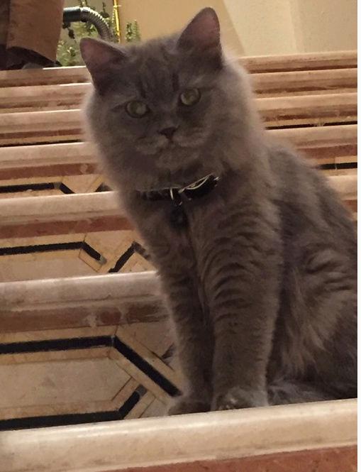 قطط شيرازية جميلة للبيع  219