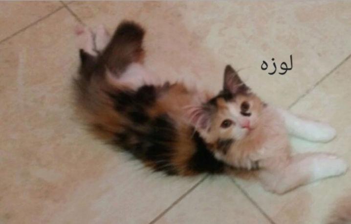 قطط شيرازية مون فيس لعوبة 221