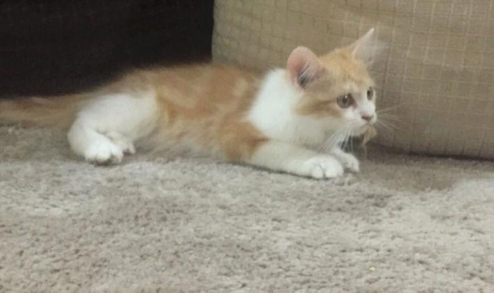 قط شرازي سليم للبيع 2211
