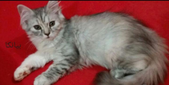 قطط شيرازية مون فيس لعوبة 222