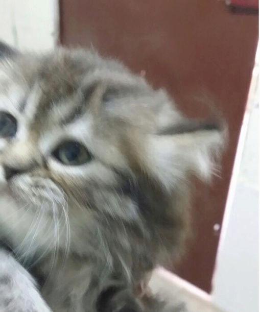 قطه كيتن مون فيس صغير للبيع  23