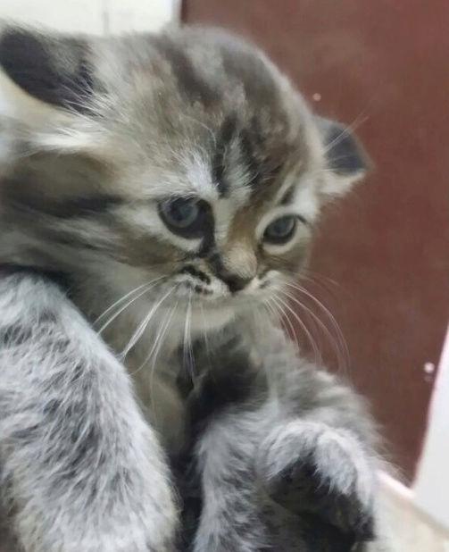 قطه كيتن مون فيس صغير للبيع  24