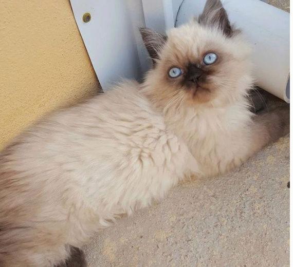 قطط ذكور همالايا وشيرازي  52