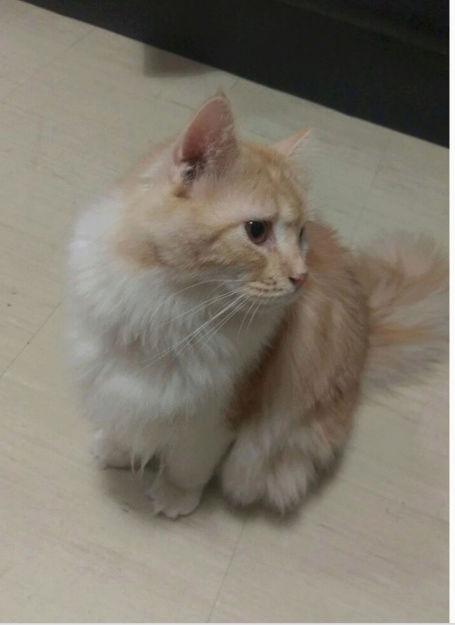 ذكر قط فارسي للبيع بجده  64