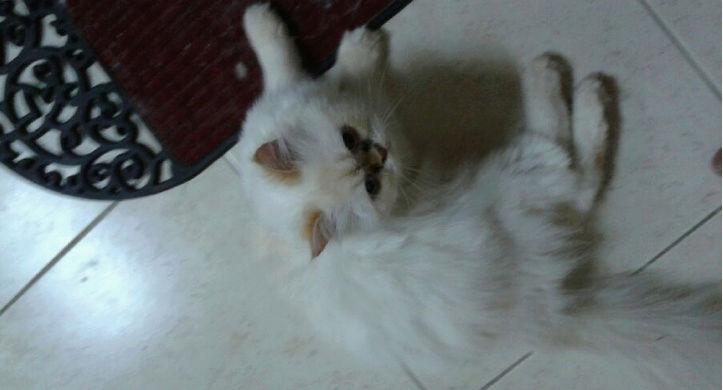 قطط هملايا بيور جميلة للبيع 69