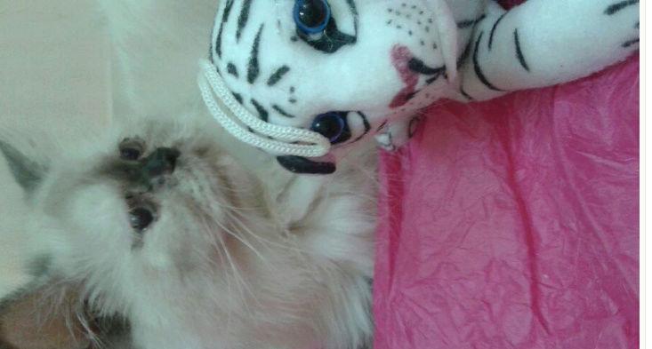 قطط هملايا بيور جميلة للبيع 70