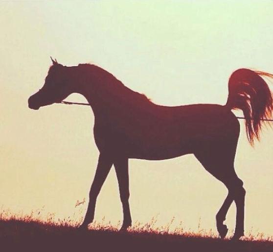 حصان اصفر شعبي جبر  83