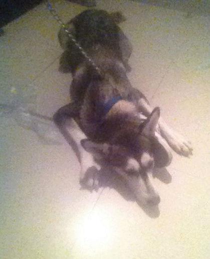 كلب انثى هاسكي للبيع  88