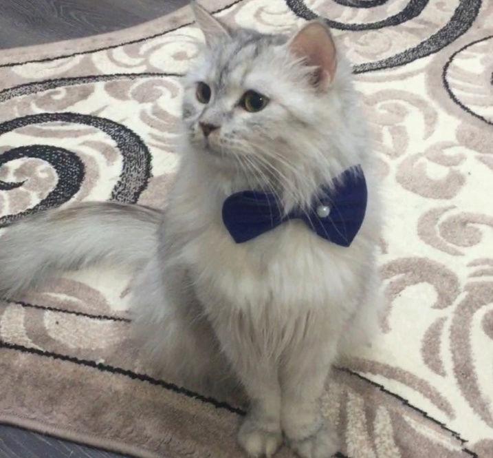 قطه شيرازيه عمرها سنتين  للبيع A112