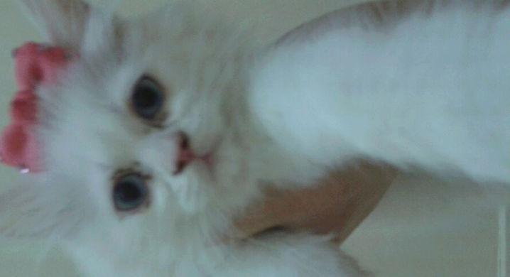 قطط هملايا بيور جميلة للبيع A23