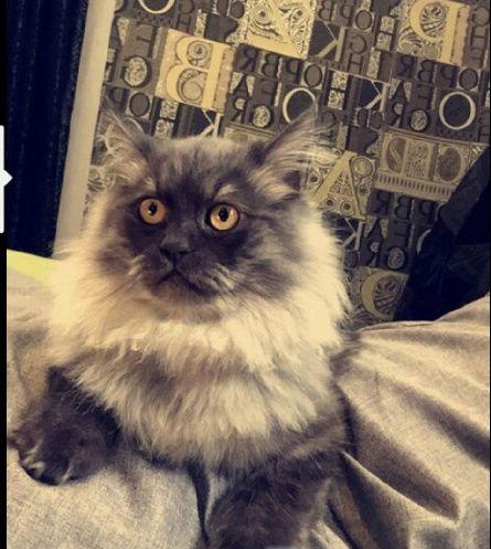 قطه شرازي مع كامل اغراضها  A32