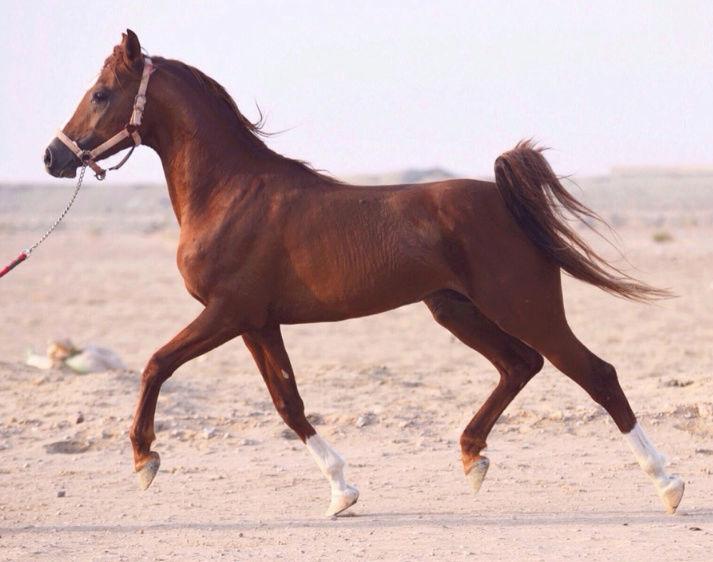 حصان شعبي للبيع في الرياض  A39