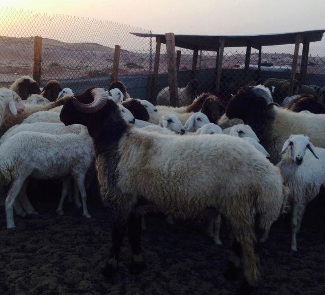 للبيع فحل نعيمي جذع في الرياض A41