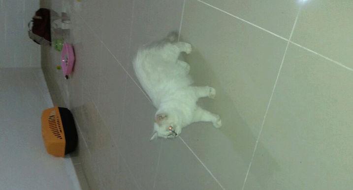 قطط بيضاء اللون  للبيع A410
