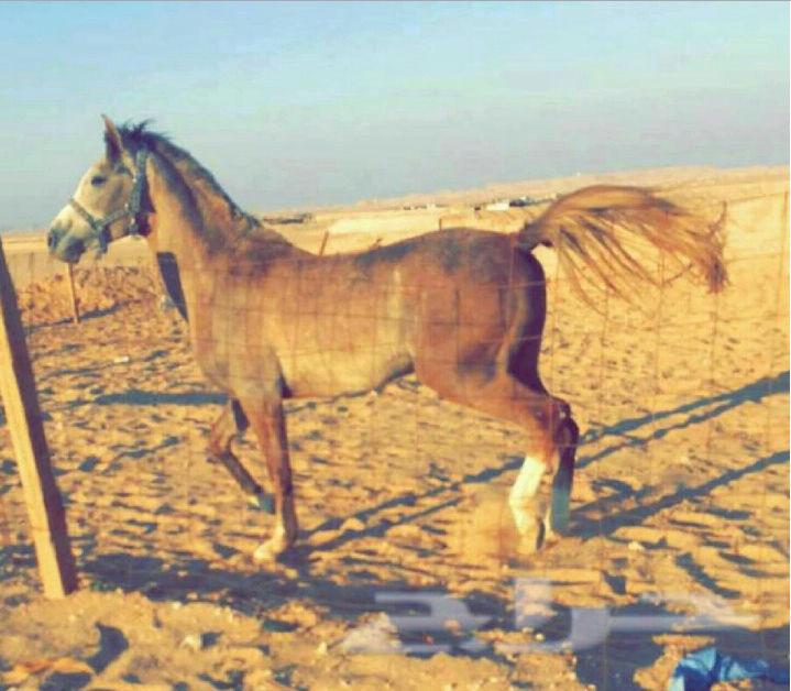 حصان عربي شعبي في نجران  A50