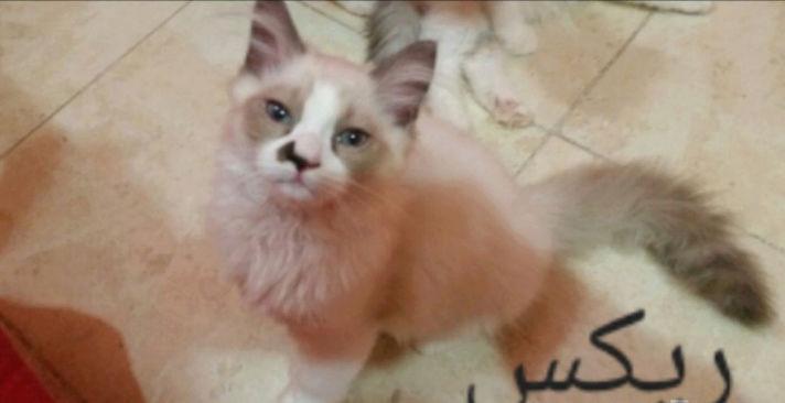 قطط شيرازية مون فيس لعوبة A54