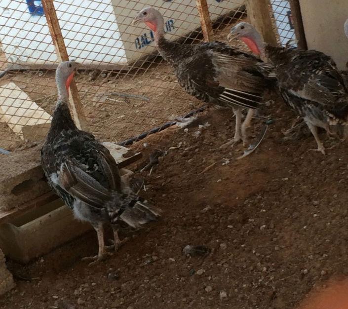 دجاج رومي بياض شمال الرياض Ae10