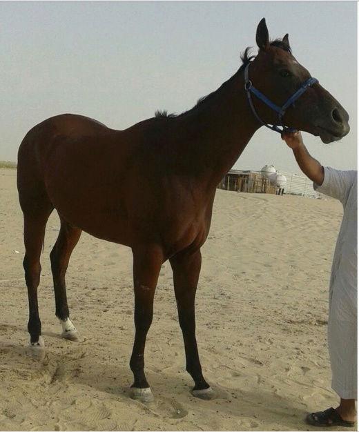 حصان انجليزي مخصي في الشرقية  Ao10