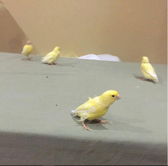 طيور كناري مع اغراضها للبيع  Axc10