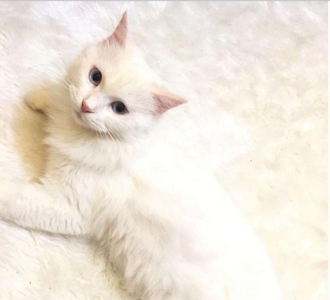 قطه اليفة و جميلة للبيع بابها  Captur21