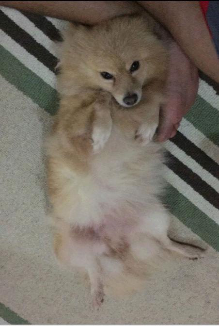 كلب زينة من نوع البوميرينيان  Captur22