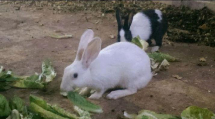 زوجين من الأرانب للبيع E45