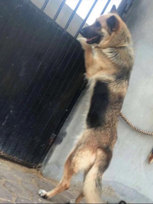 كلب جيرمان شيبرد لونق هير E48