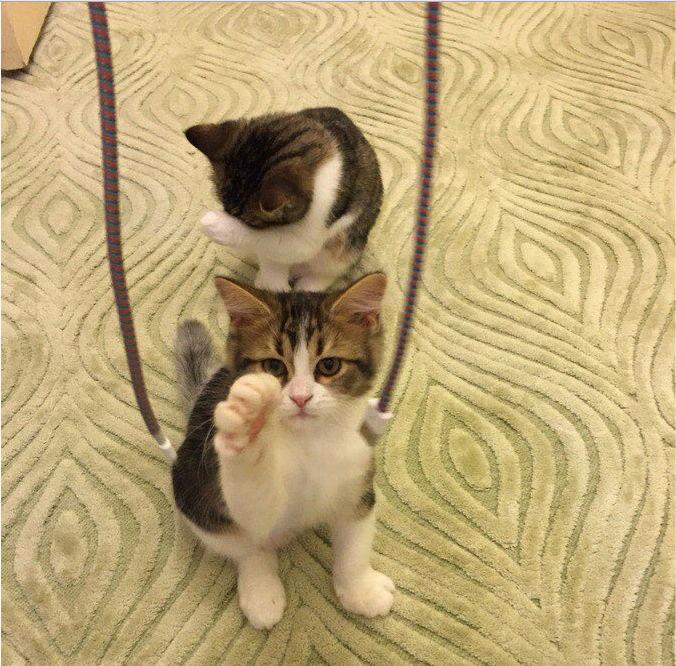قطتان شيرازي صغيرتين و اليفتين  E51