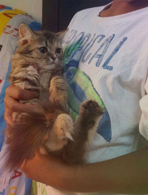قطه انثى شيرازيه اليفة ولعوبه E57
