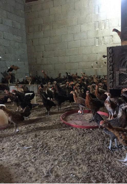 صوص دجاج بلدي للبيع في القصيم  E76