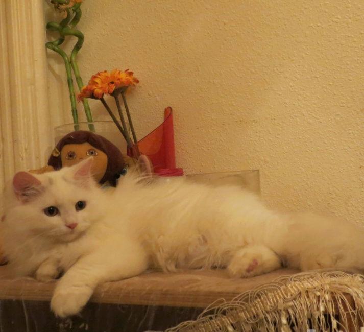 قطة انثى هاف بيكي فيس  E82